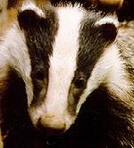 Badger_1